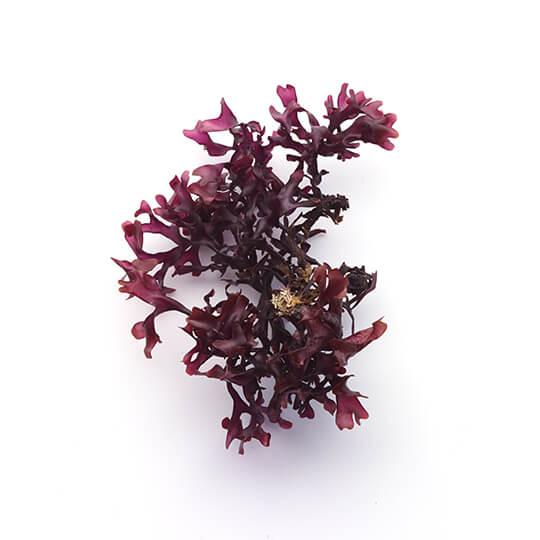 Red Seaweed